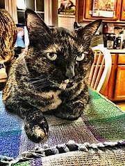 2019 252/365 9/9/2019 MONDAY - ZaZZ (_BuBBy_) Tags: 2019 252365 992019 monday zazz 9 09 253 365 365days project project365 tortie cat feline mon mo m september