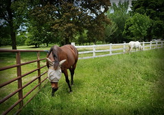 Horse, Danada Forest Preserve. 36 (s9) (Mr. Mega-Magpie) Tags: samsung s9 outdoors horse equine danada forest preserve wheaton dupage il illinois usa america
