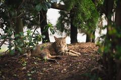 猫 (fumi*23) Tags: ilce7rm3 sony sel55f18z sonnar sonnartfe55mmf18za a7r3 animal 55mm cat chat gato katze emount ねこ 猫 ソニー