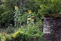 28082019-DSC_0018 (vidjanma) Tags: bellevue jardin pierressèches tournesols