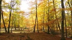 New Forest NP, Hampshire, UK (east med wanderer) Tags: england hampshire lyndhurst newforestnationalpark nationalpark autumn beech oak silverbirch stream highlandwater