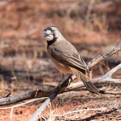 Crested Bellbird 2 (Oreoica gutturalis) (Keefy2014) Tags: crested bellbird oreoica gutturalis