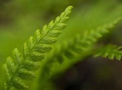 253/365 Fern (Helen Orozco) Tags: day253365 365the2019edition fern cornwall green