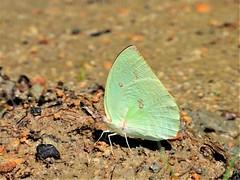 DSCN1543 - #遷粉蝶 (#淡黃蝶) 銀斑型 雄 Catopsilia pomona (Fabricius, 1775)