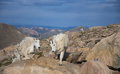 Mountain goat Habitat (agnish.dey) Tags: mountins mountaingoat mammal wildlife wilderness alpinetundra sky nature naturallight naturephotograph nikon naturethroughthelens rockymountains coth colorado animalplanet d500