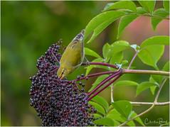 Tennessee Warbler (Summerside90) Tags: birds birdwatcher warblers tennesseewarbler september summer backyard garden elderberries nature wildlife ontario canada
