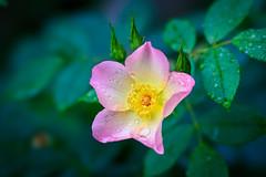 After the Rain (Kei Edamatsu) Tags: flower flowers nature garden rose pink