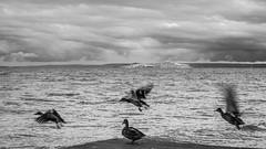 (zedspics) Tags: balaton bw blackwhite balatongyörök magyarország monochrome hungary hongarije zedspics 1909 ducks nature landscape lakescape