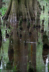 The Majestic Bald Cypress surrounded by Knees raising up from its roots (PhotosToArtByMike) Tags: congareenationalpark majesticbaldcypress knees roots southcarolina oldgrowthbottomlandhardwoodforest boardwalk congareeriver centralsouthcarolina oldgrowthforest hardwood bottomland hopkinssouthcarolina sc