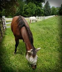 Horse, Danada Forest Preserve. 35 (s9) (Mr. Mega-Magpie) Tags: samsung s9 outdoors horse equine danada forest preserve wheaton dupage il illinois usa america