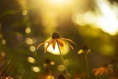 Prime (Matt Champlin) Tags: light prime 50mm sun sunflower beautiful daisy life nature sunset evening peaceful september canon 2019 landscape garden home