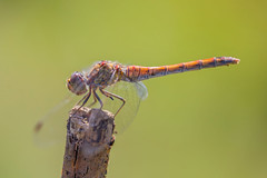 Libellule 1 (michel bourgouin) Tags: canoneos6d2 macrophoto insectes libellule dragonfly demoiselle