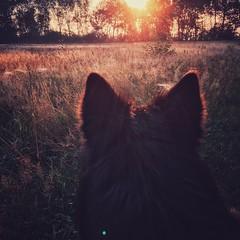 sunrise dog 🐺 (Jos Mecklenfeld) Tags: zonsopkomst sunrise hond dog herdershond herder shepherd hollandseherder dutchshepherd totoro