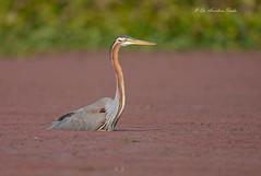Intense.... (Anirban Sinha 80) Tags: nikon d610 fx 500mm f4 ed vrii n g bird heron purple nature natural wildlife wetland neck bokeh hunting