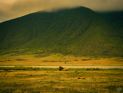 IN THE ROYAL PALACE (eliewolfphotography) Tags: lion lions landscapes lionking wildlife wildlifephotographer wildlifephotography nature naturelovers nikon naturephotography natgeo naturephotographer ngorongoro animals africa african tanzania travel