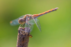 Libellule 3 (michel bourgouin) Tags: canoneos6d2 macrophoto insectes libellule dragonfly demoiselle