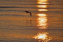 Dawn (KWPashuk (Thanks for >3M views)) Tags: nikon d7200 tamron tamron18400mm lightroom luminar luminar2018 luminar3 luminar31 kwpashuk kevinpashuk seagull silhouette morning sunlight reflection water lake bird nature outdoors oakville ontario canada dawn