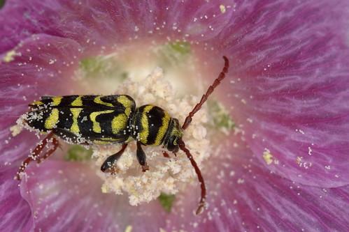 61 - ESCARABAJO AVISPA ESPAÑOL (Neoplagionotus Marcae)  -JUAN JOSE CASTELLANOS LUCAS