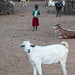 Samburu child and goats