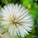 Sowthistle seed head -Tête de semence chardon commun