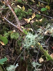Quimper old growth forest (thnomad) Tags: bryophyte moss liverwort