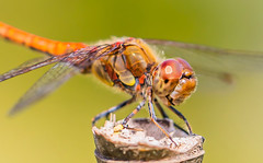 Libellule 2 (michel bourgouin) Tags: canoneos6d2 macrophoto insectes libellule dragonfly demoiselle