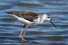 Echasse blanche (jean-louis21) Tags: camargue oiseaux échasse blanche marais eau