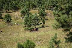 AU3A6532 (MegachromeImages) Tags: sd south dakota pigtail loop black hills mount rushmore granite rock formation forest ponderosa pine mineral alpine custer state park buffalo