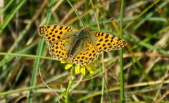 A lucky day (Queen of Spain fritillary) (Elisa1880) Tags: kleine parelmoervlinder issoria lathonia queen spain fritillary vlinder butterfly insect den haag the hague nederland netherlands solleveld