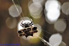 Gasteracantha sp. (Luiz Filipe Varella) Tags: spider spiders aranhas espécies gêneros fauna brasileira macrofotografia macro macros animais do brasil rio grande sul species