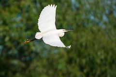 Little Egret (Unintended_Keith) Tags: littleegret white birdinflight bird nature wildlife sonya9 sigma150600mms