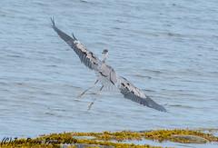 Grand Héron / Great Blue Heron (J.P.Proulx) Tags: 200500mm 2019 nikon stelucesurmer d500 envol grandhéron oiseau échassier