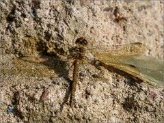 Over-mature female common darter (Phil McIver) Tags: bradgatepark darter leicestershire