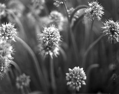 flowering chives (salparadise666) Tags: nagaoka 4x5 schneider symmar 135mm fomapan 200 caffenol cl 15min nils volkmer large format analogue film camera view floral detail bw black white monochrome plant blossom