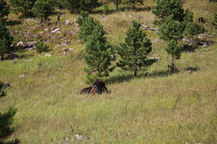 AU3A6535 (MegachromeImages) Tags: sd south dakota pigtail loop black hills mount rushmore granite rock formation forest ponderosa pine mineral alpine custer state park buffalo