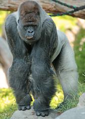 western lowlandgorilla Bokito Blijdorp 094A0605 (j.a.kok) Tags: animal africa afrika aap ape mammal monkey mensaap primate primaat zoogdier dier gorilla westelijkelaaglandgorilla westernlowlandgorilla lowlandgorilla laaglandgorilla blijdorp bokito zilverrug silverback