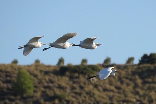 76 - GARCILLAS BUEYERAS (Bubulcus ibis) - JUAN LUIS REDAJO