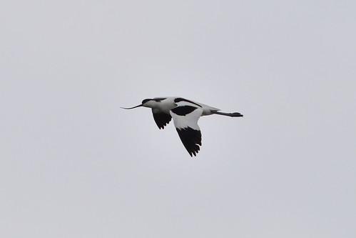 21 - AVOCETA EN VUELO (Recurvirostra avosetta) - CARLOS HERMIDA RODRIGUEZ