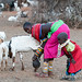 Samburu - milking the goat
