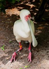 Animal Kingdom White Spoonbill (Jay Costello) Tags: disneysanimalkingdom animalkingdom disney orland florida orlandofl fl spoonbill white bird avian winged