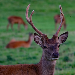 rd 9409 (m.c.g.owen) Tags: red deer buck ashton court bristol september 8th 2019 park herd cervus elaphus