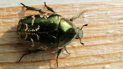 Green rose chafer (Klaus • back (sometimes) •) Tags: cetoniaaurata rosechafer greenrosechafer goldglänzenderrosenkäfer gemeinerrosenkäfer grønguldbasse escarabajodelasrosas cétoinedorée hannetondesroses cetoniadorata goudentor hårgullbasse gräsgrönguldbagge kultakuoriainen kruszczycazłotawka бронзовказолотистая бронзовкаобыкновенная 金花金龟 käfer beetle scarafaggio escarabajo coléoptère kever besouro 甲虫 ciaróg skalbagge kuoriainen böcek 甲蟲 bille kumbang chrząszcz hrošča buba insekt insect insetto insecto insectes inseto 昆虫 насекомое feithidí hyönteinen έντομο 昆蟲 serangga инсект owad côntrùng skordýra insektov насекомо