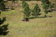 AU3A6534 (MegachromeImages) Tags: sd south dakota pigtail loop black hills mount rushmore granite rock formation forest ponderosa pine mineral alpine custer state park buffalo