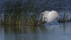 Great Egret (Grande Aigrette) (luce.ct) Tags: greategret grandeaigrette nikon nikond500 d500 400mm f28