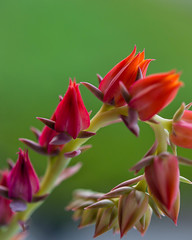 Budding Succulence (risaclics) Tags: 60mmmacro nikond610d red september2019 bud flora flowers plants succulent
