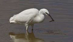 Little Egret (Alan McCluskie) Tags: littleegret egret egrettagazetta wwtslimbridge birds wetlandbird canon7dmk2 sigma150600mmsp