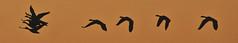 Formation (KWPashuk (Thanks for >3M views)) Tags: nikon d7200 tamron tamron18400mm lightroom luminar luminar2018 luminar3 luminar31 kwpashuk kevinpashuk geese flight formation flying morning sky orange silhouette bronte beach park oakville ontario canada