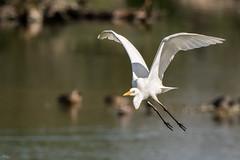 Grande aigrette (Richard Holding) Tags: greategret bird grandeaigrette m43 oiseau olympus omd ardeaalba