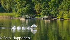 Whooper Swan's take off (Eero Happonen) Tags: fujifilmxt2 fujinonxf55200mmf3548rlmois joutsjärvi lohilahti sysmä takeoff whooperswan finland