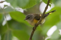 6361 (Eric Wengert Photography) Tags: americanredstart setophaga setophagaruticilla bird passerine songbird